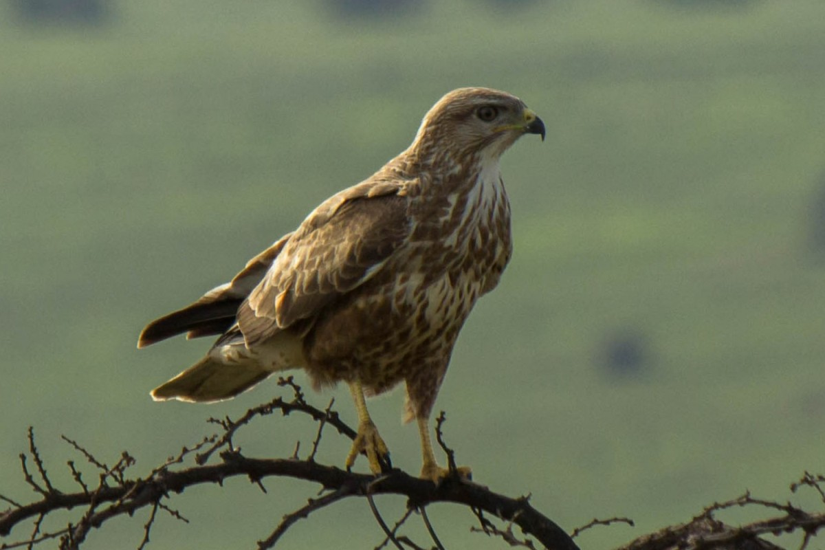 Steppe Buzzard